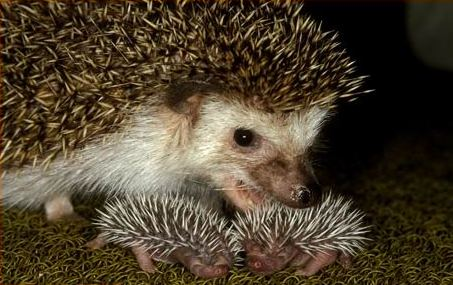 Can Hedgehogs Eat Baby Food