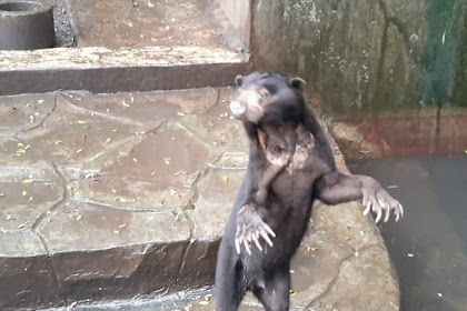 Media Dunia Ramai-ramai Beritakan Beruang Kurus di Bandung