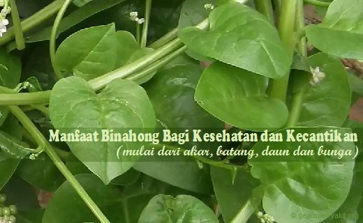Untuk mengetahui lebih lanjut ulasan lengkap tentang khasiat daun binahong, anda dapat membacanya di artikel ini.