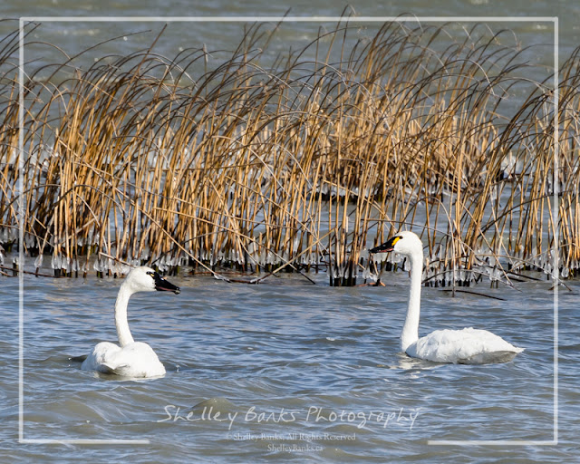 Tundra Swans. © Copyright, Shelley Banks, all rights reserved.