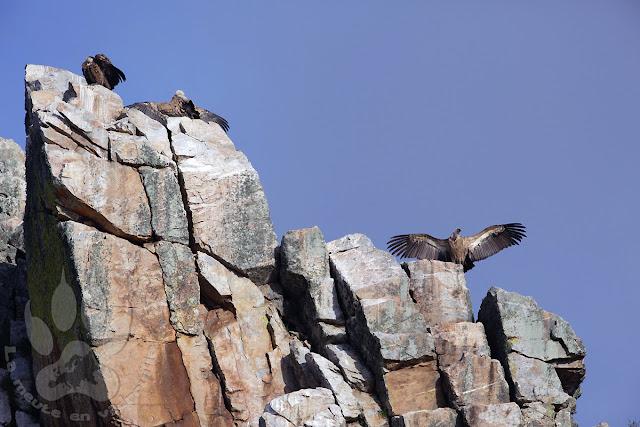 Espagne-Monfrague-mirador-portilla-tietar-vautours-fauves