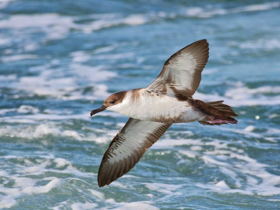 argentinian marine birds Pardela cabeza negra