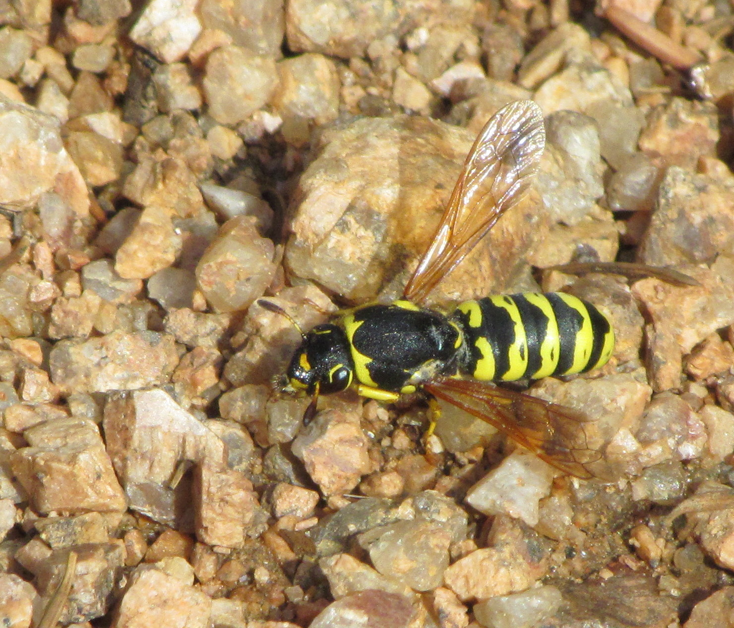 Pollen mézzel a prosztatitishez)