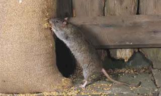La rata pujolone, inventora del negocio