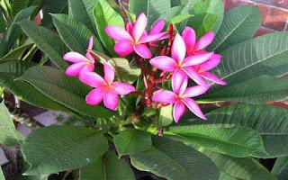 Gambar Bunga Kamboja yang Indah 10
