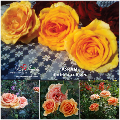 Pordaja ruža