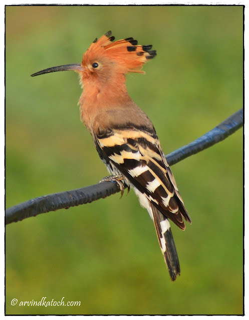 Indian, Hoopoe, Full Crown,