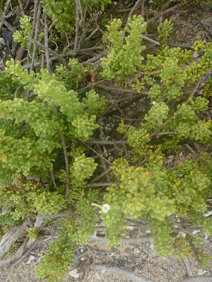 Nolana galapagensis