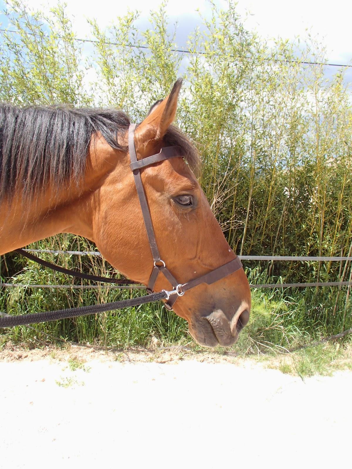 Sidepull sur un cheval avec des rênes plates