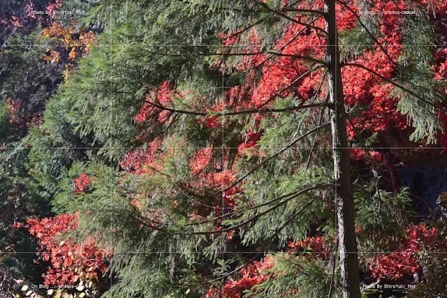 草木 常緑 綺麗な緑 紅葉 Slowly Shelly Manne
