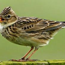 Cara Perawatan Burung Branjangan Supaya Berbunyi Rajin Dan Ngeplong