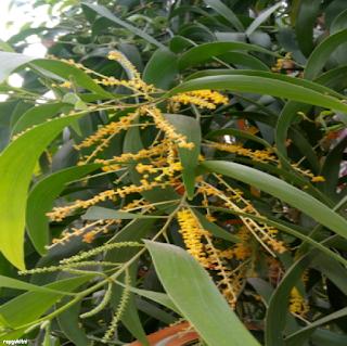 EARPOD WATTLE FLOWERS - கத்திக் கருவேல் பூ