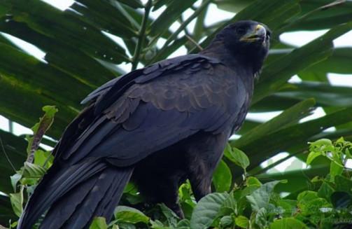 Unduh 900+ Foto Gambar Burung Elang Raksasa HD Terbaru Free
