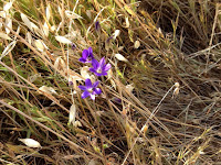 The rare thread-leaved brodiaea (Brodiaea filifolia) in bloom in the brodiaea reserve on Colby Trail, Glendora