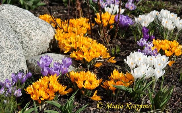 Kevään ilo
