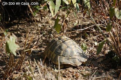 Tortuga mediterránea en su recinto