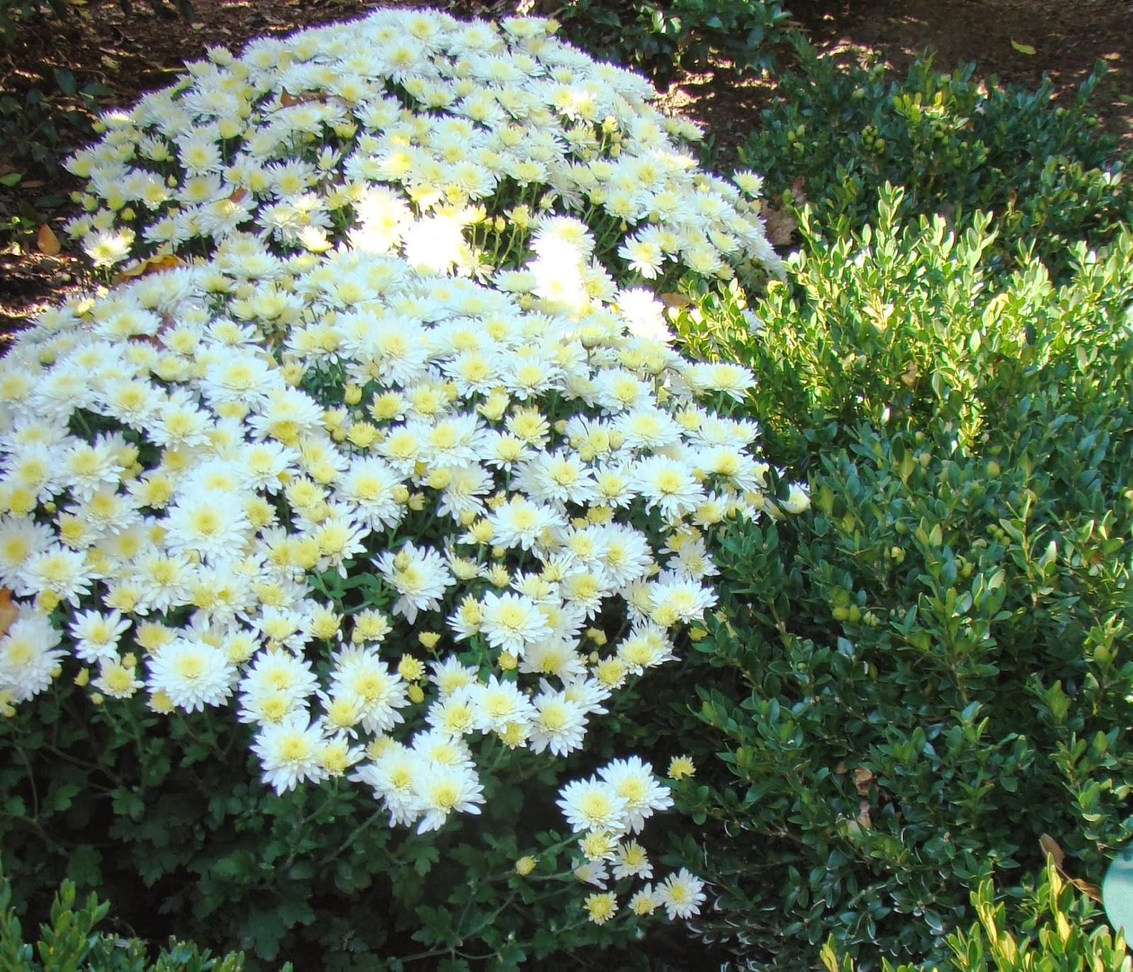 White the beacon color in the fall garden mightylinksfo