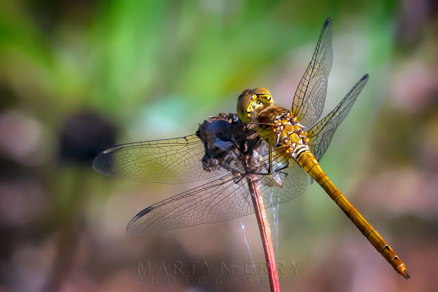 Close up image of a female ruddy darter dragonfly from behind at Ouse Fen