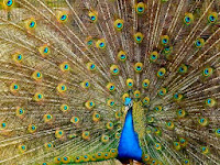 Indian peacock (Pavo cristatus)
