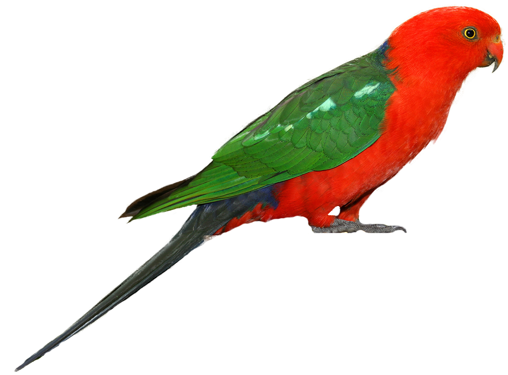 Animated Christmas Wallpaper Windows 7 Free Download All Wallpapers Australian King Parrots