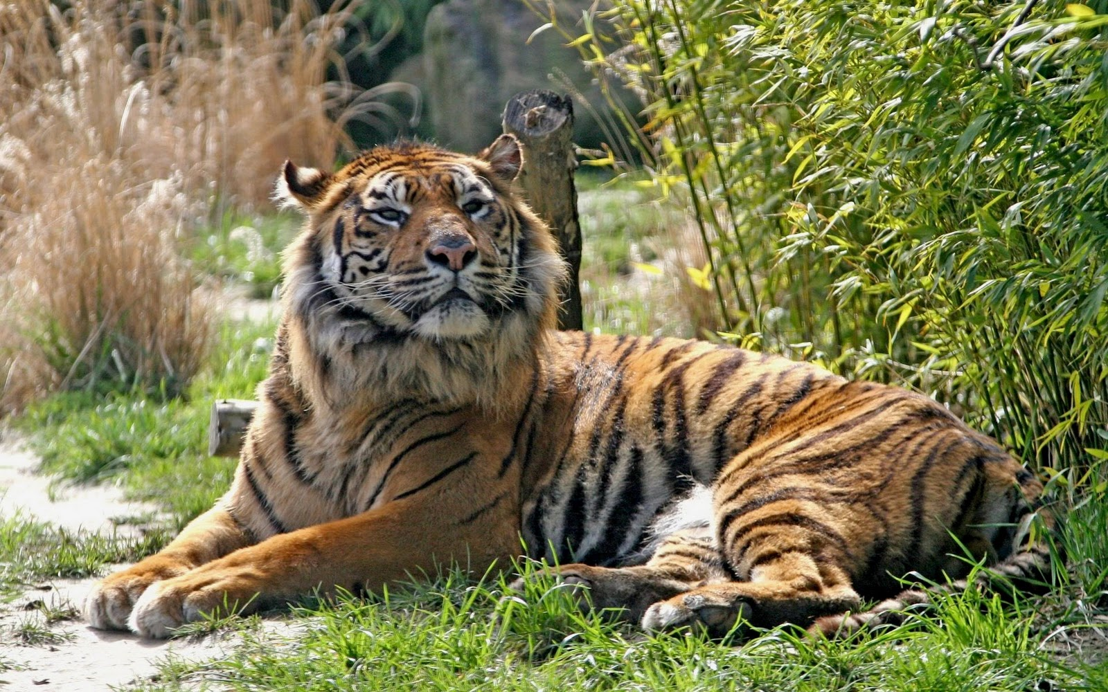 Kumpulan Gambar Sketsa Harimau Dan Singa
