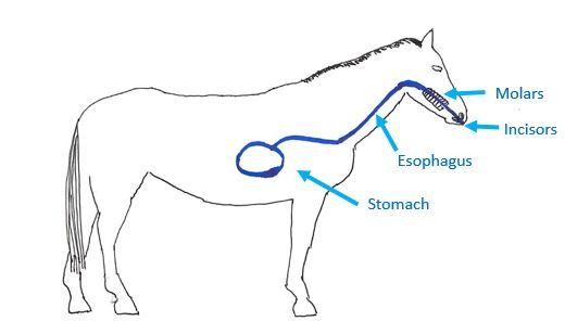 Esophagus Horse Diagram - Electrical Work Wiring Diagram •