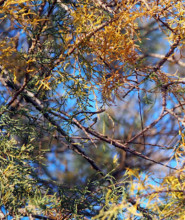 Fulles i branquetes de Tamarix gallica per Teresa Grau Ros