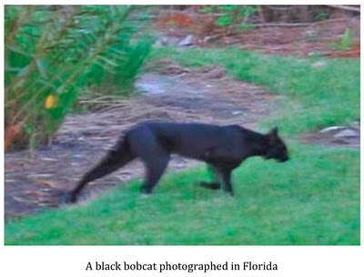 Texas Cryptid Hunter Black Panther Photographed In The Texas Hill Country