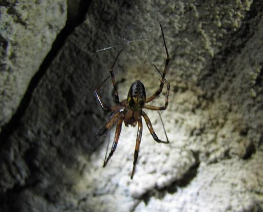 Sieciarz jaskiniowy (Meta menardi).