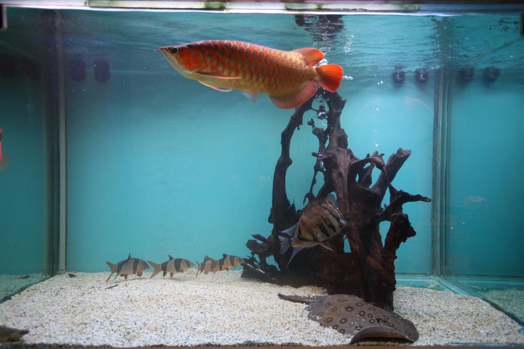 Cara Merawat Ikan Arwana Aqua Fish Pro