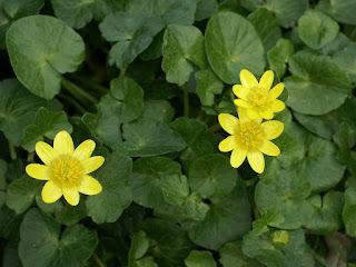 Ficaire fausse renoncule - Ficaria verna - Ranunculus ficaria