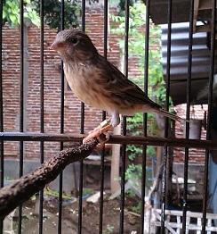 Burung Blacken atau Blaken adalah sebuah istilah untuk spesies burung hasil dari persilangan atau perkawinan silang antara Blackthroated finch dan Kenari (Serinus Canaria)