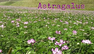 Fakta Menarik Mengenai Astragalus Untuk Kesehatan