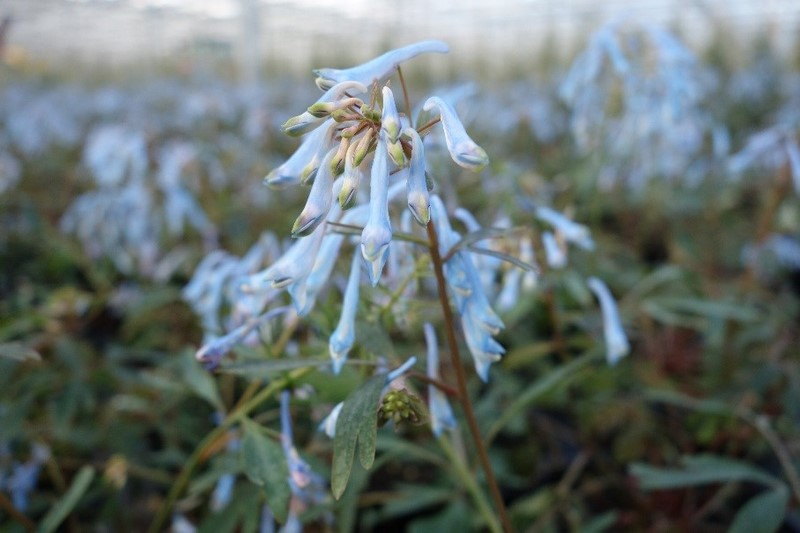 Corydalis 'Porcelain Blue' (Hillier Nurseries)