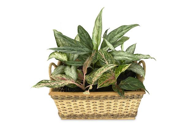 diffenbachia  trujace rośliny doniczkowe