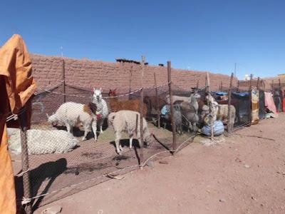 Lamas wurden nach San Pablo gebracht