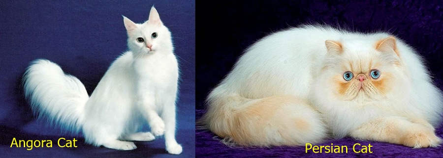 Differences Angora and Persian Cats