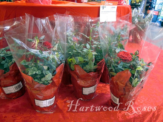Hartwood Roses Miniature Roses at the Grocery Store