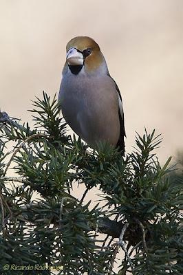 Durbec (Coccothraustes coccothraustes)