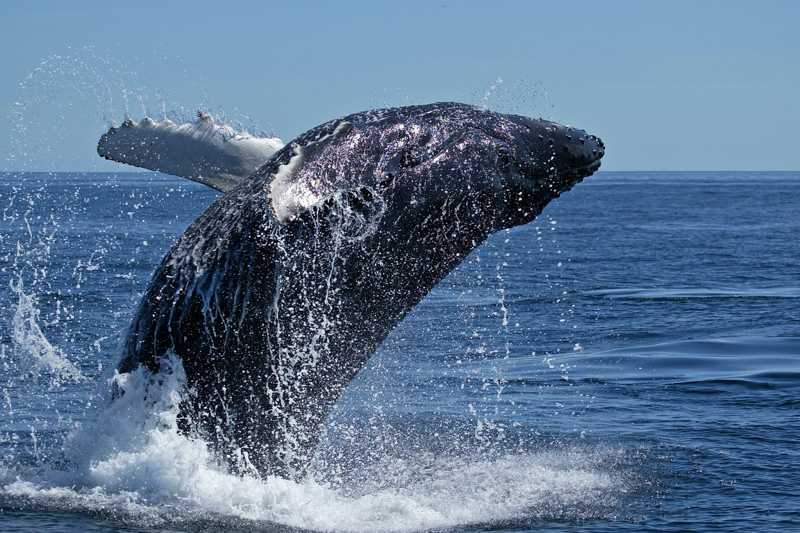 A picture of a whale jumping out of the water.