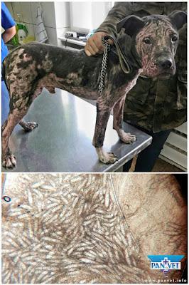 Demodikoza kod psa Panvet