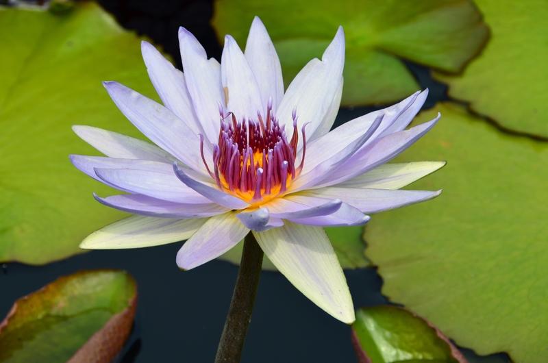 Nenúfar tropical diurno. Tropical day-flowering waterlily