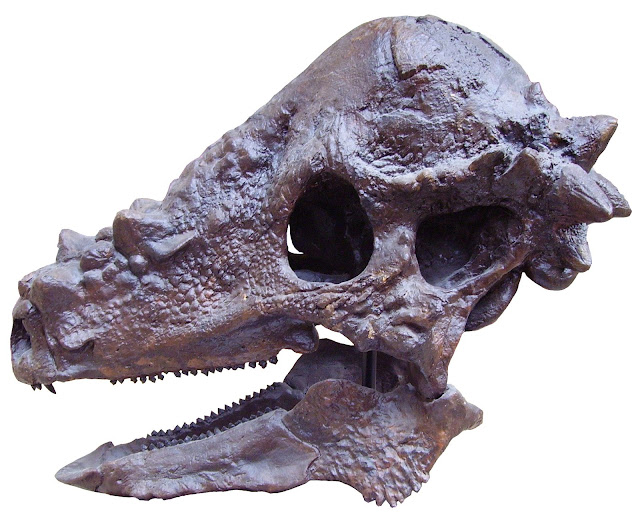 Fakta Menarik Tentang Pachycephalosaurus  6 Fakta Menarik Tentang Pachycephalosaurus