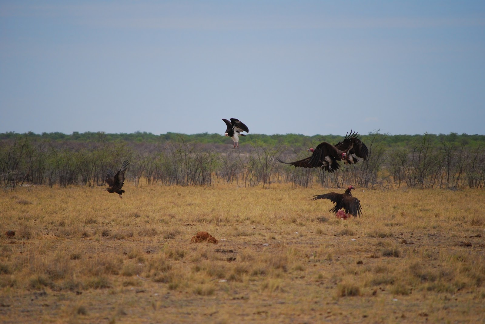 A group of vultures finding a carcass.