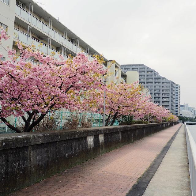 塩浜 河津桜