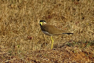Burung Trulek Jawa Hewan Langka Di Indonesia dan Penjelasannya