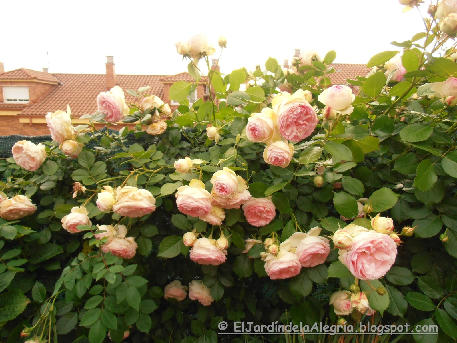 El jard n de la alegr a c mo se podan los rosales - Rosales en macetas ...