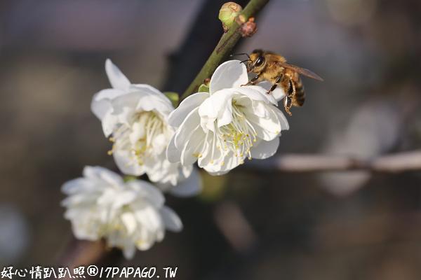 台中烏日|2018芬園花卉生產休憩園區-鴛鴦梅花隧道,免費參觀