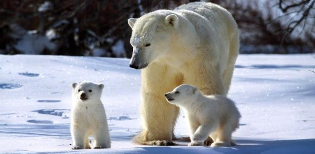 Oso polar y temperatura