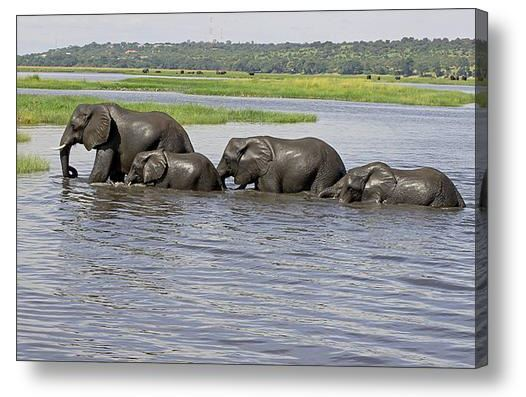 Buy Acrylic Print of Elephants crossing River Chobe